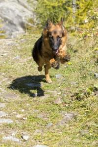 Ernährung kastrierter Schäferhund