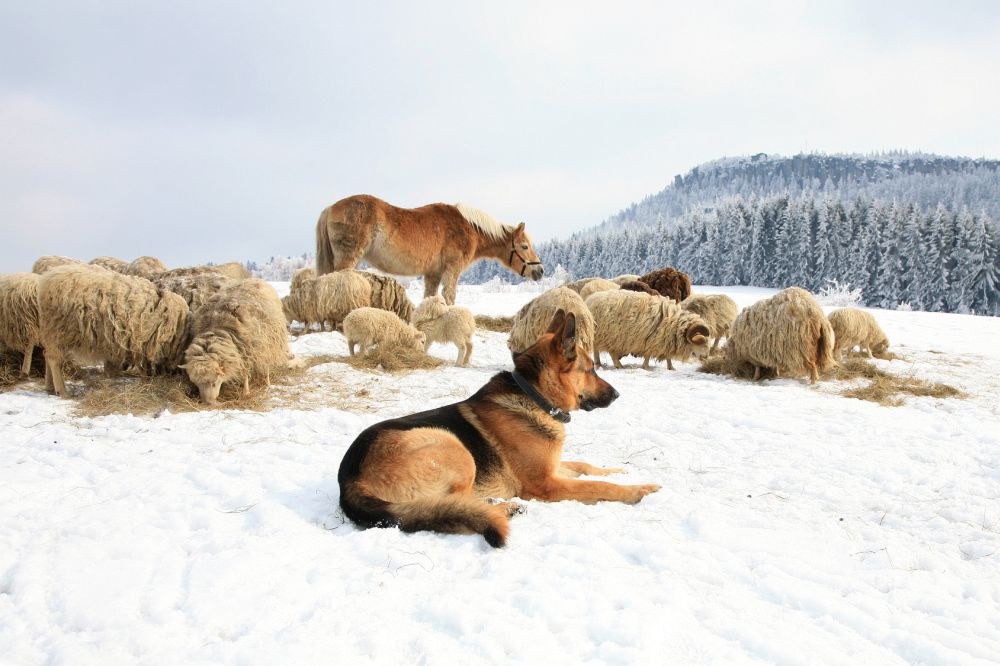 Fellpflege Schäferhund