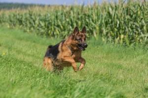 Gesundheit Schäferhund Deckrüden