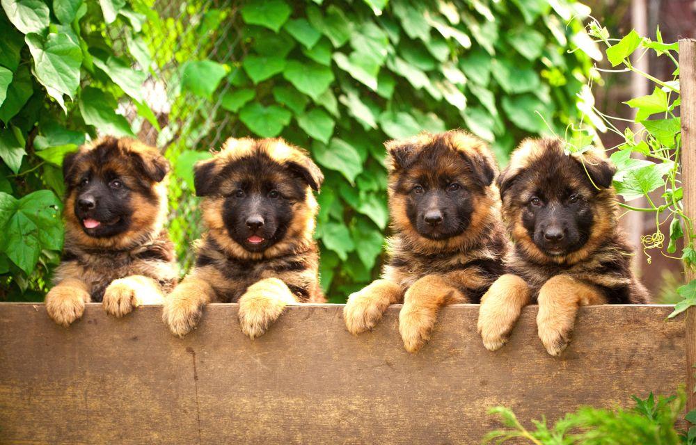 Gesunde Schäferhund Welpen