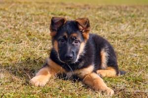 Grenzen Setzen Schäferhund Erziehung