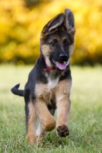 Hunderasse Schäferhund