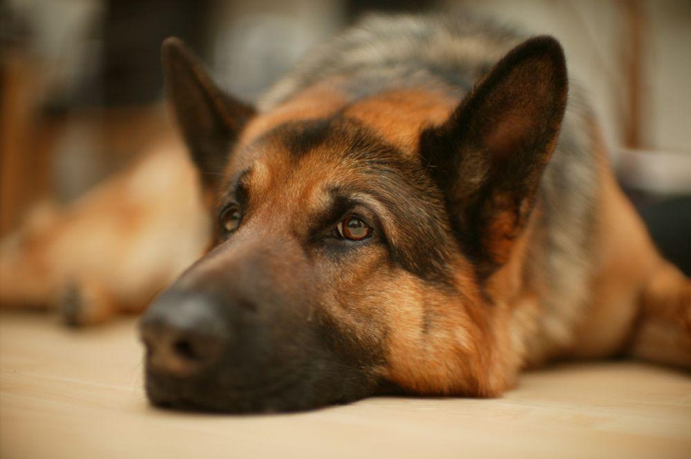 Schäferhund Krank