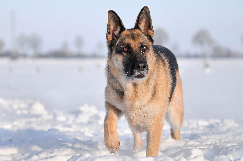 Deutscher Schäferhund im Schnee