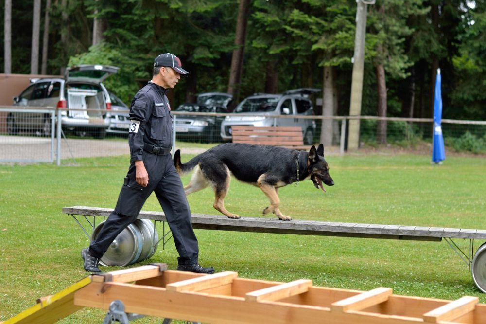 Schaeferhund geht ueber bewegliche Brucke
