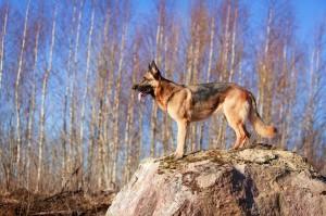 Schäferhund Deckrüde