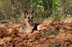 Schäferhund aus Tierheim