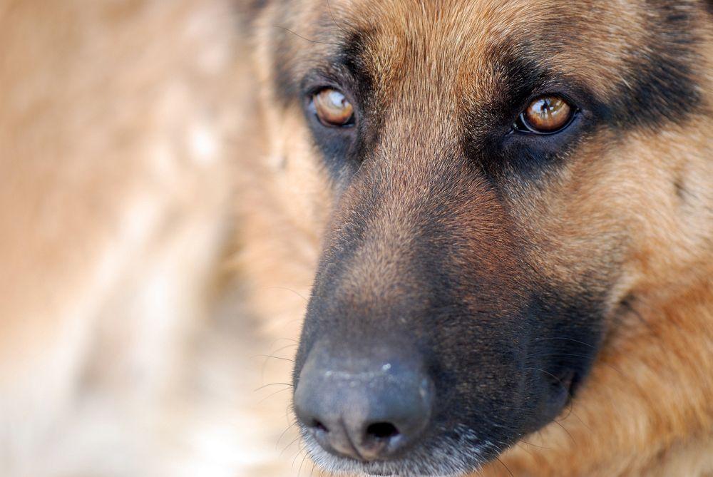 Schäferhund in Not