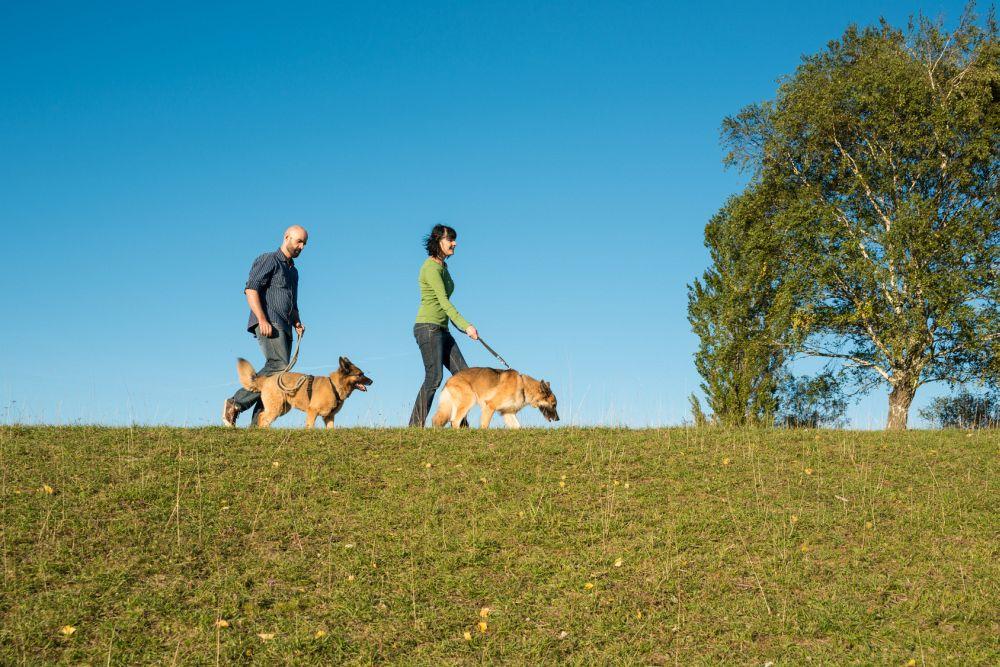 Schäferhund spazieren gehen