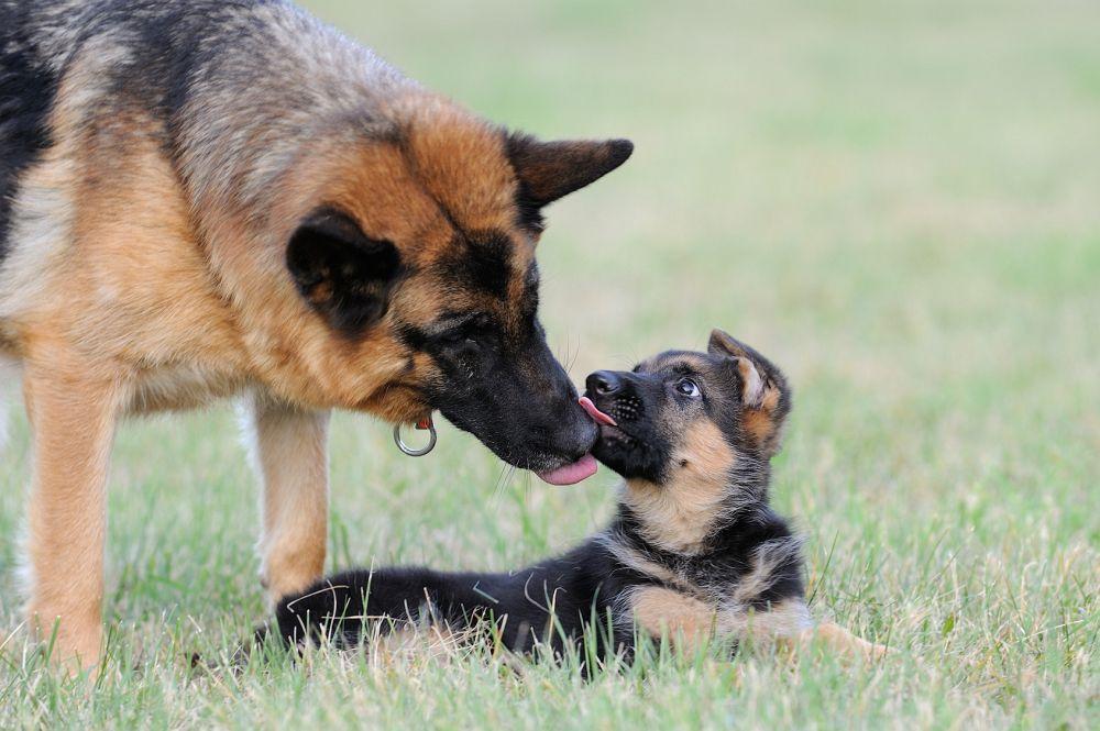 Deutscher schaferhund kaufen stuttgart