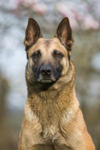 Steckbrief Deutscher Schäferhund