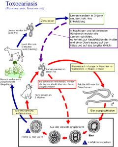 Wurm, Würmer, Bandwurm, Schäferhund