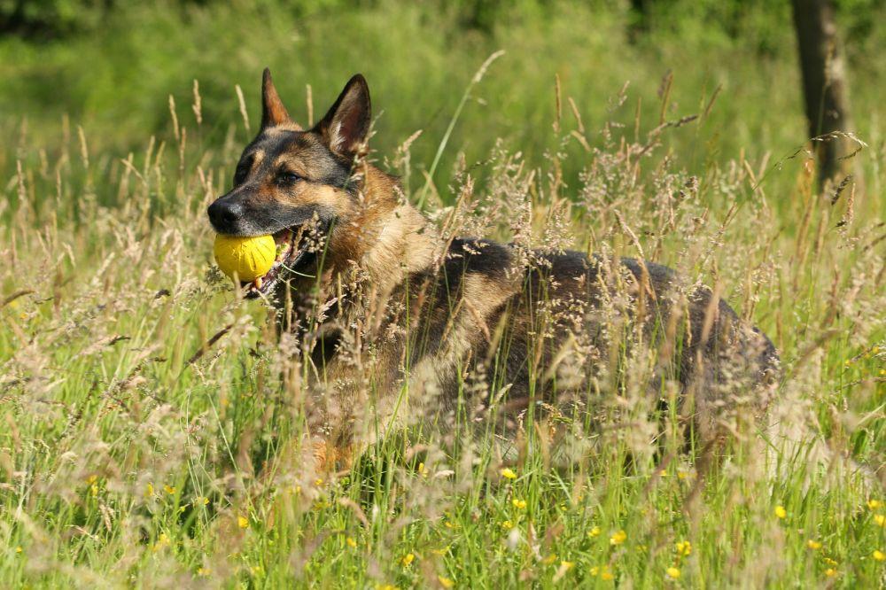 Zecken Wald Schäferhund Gras