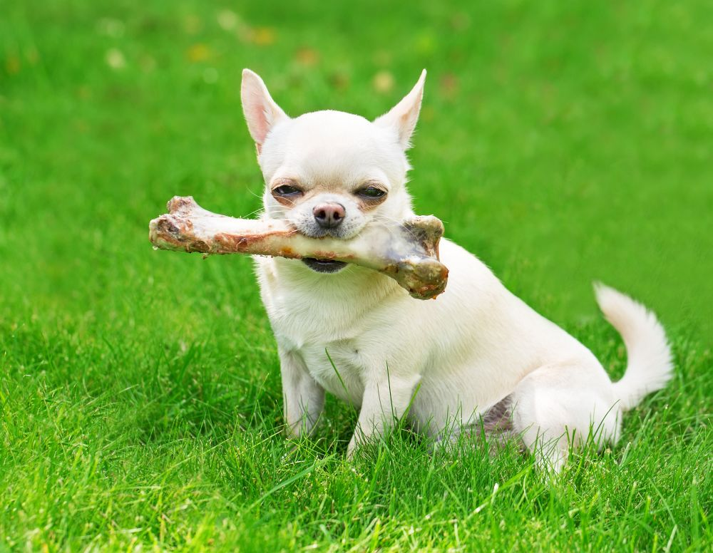 Lebensdauer Chihuahua