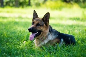 Lebensdauer Schäferhund