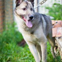 Schäferhund-Mix braucht DRINGEND neue Pflegestelle oder Endstelle