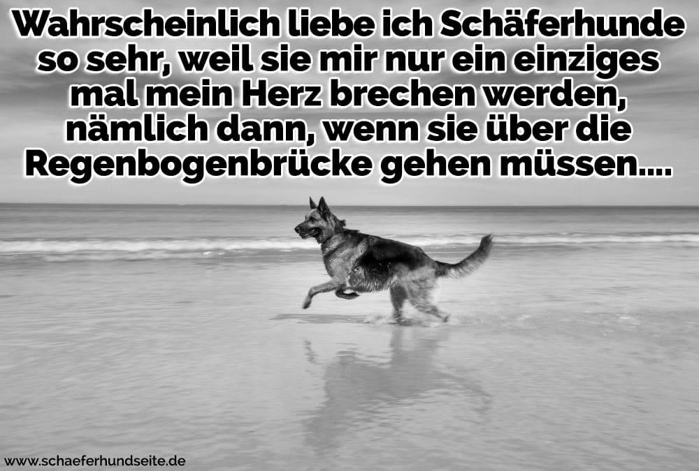 Schäferhund am Strand