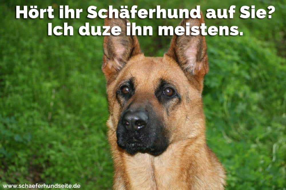 Erschrocken Schäferhund