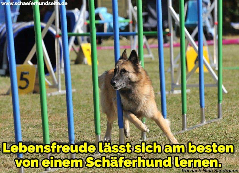 Schäferhund spielt im Park