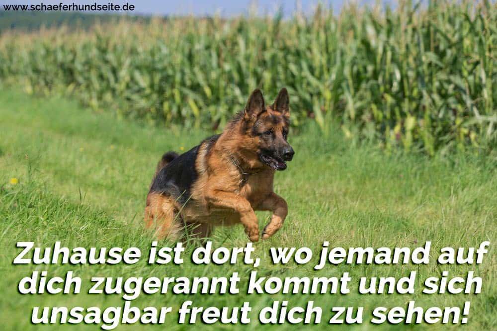 Schäferhund rennt im Gras