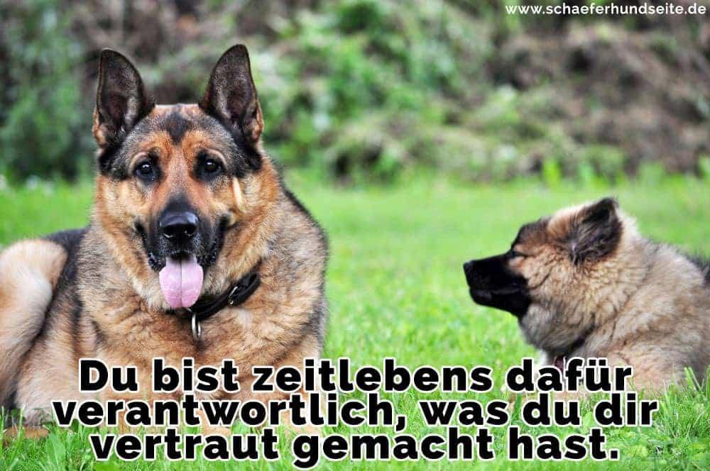 zwei Schäferhunde liegen am Boden