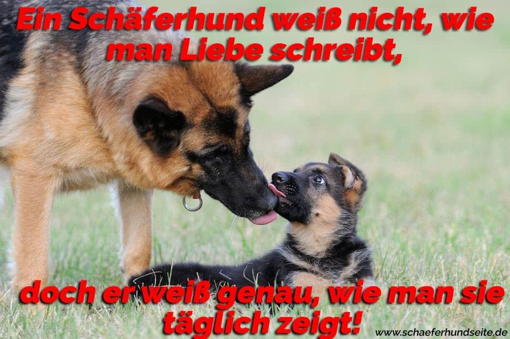 Schäferhund küsst ein Welp Schäferhund