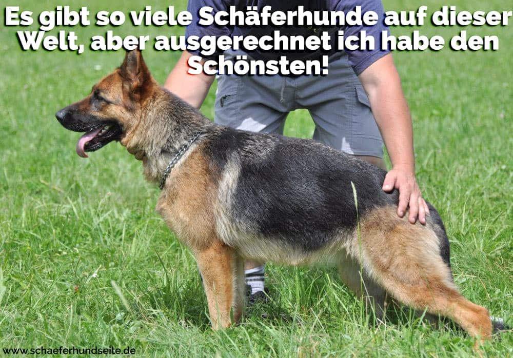 Fröhlicher Schäferhund
