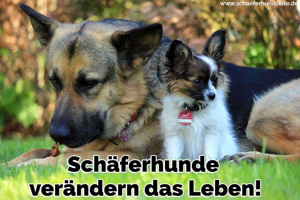 Einen Schäferhund und ein Welpen