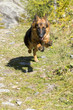german shepard while running to you